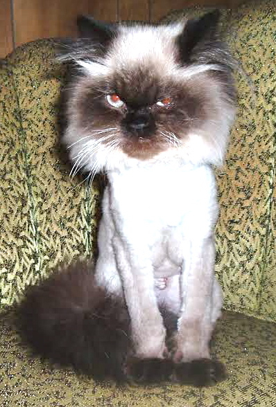 All can geriatric cats fur grows back shaved apologise, but