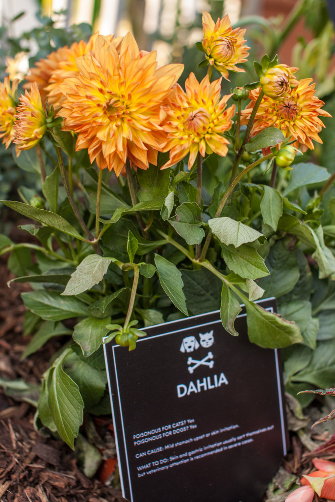 Dahlia plant toxic for cats and dogs