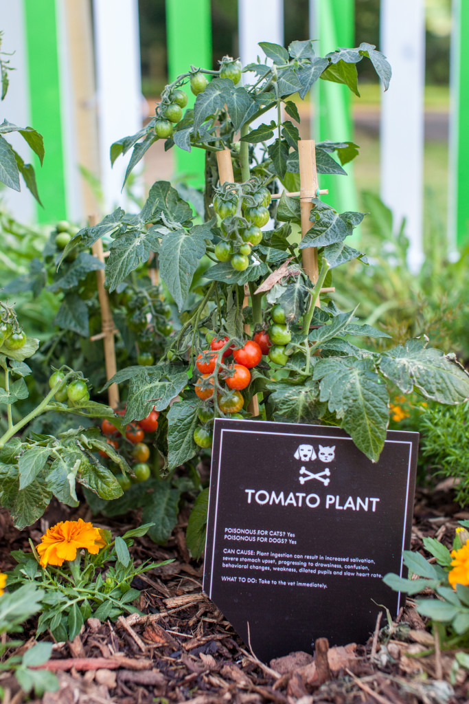 Tomato Plants toxic for cats and dogs