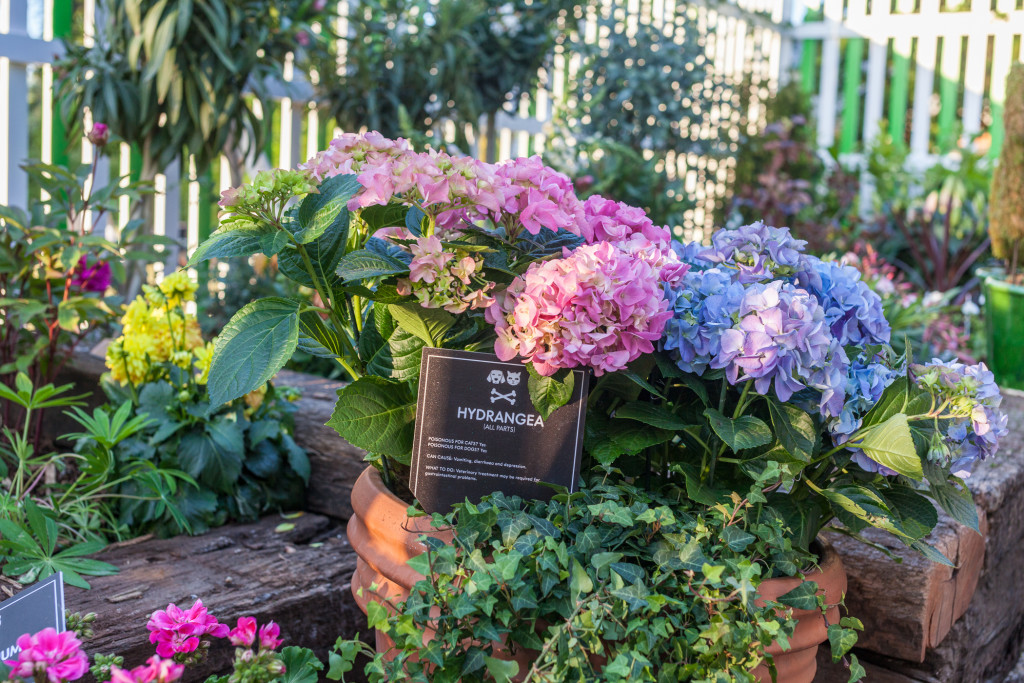Hydrangea toxic plant for pets