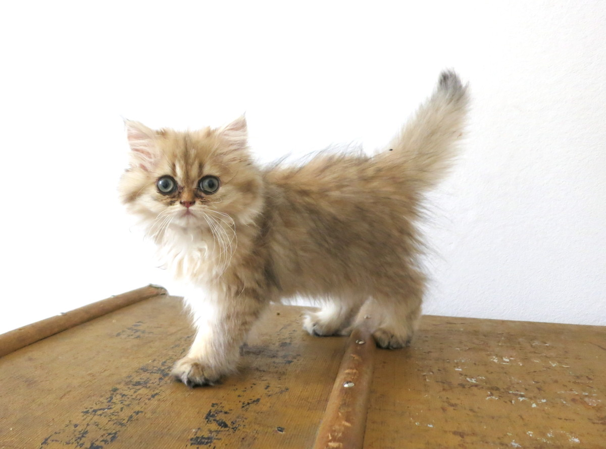 golden shaded persian kitten
