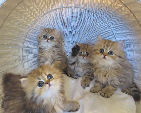 Persian cat c section
