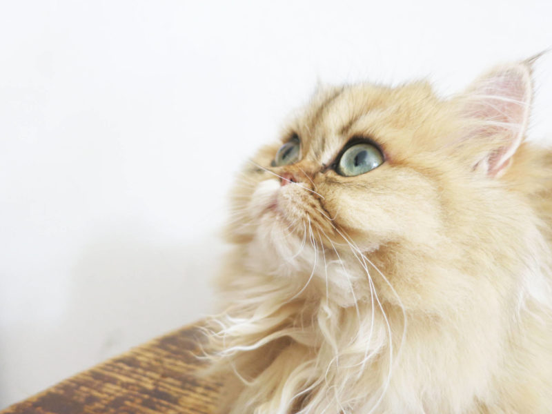 How To Keep Persian Cats Eyes Clean