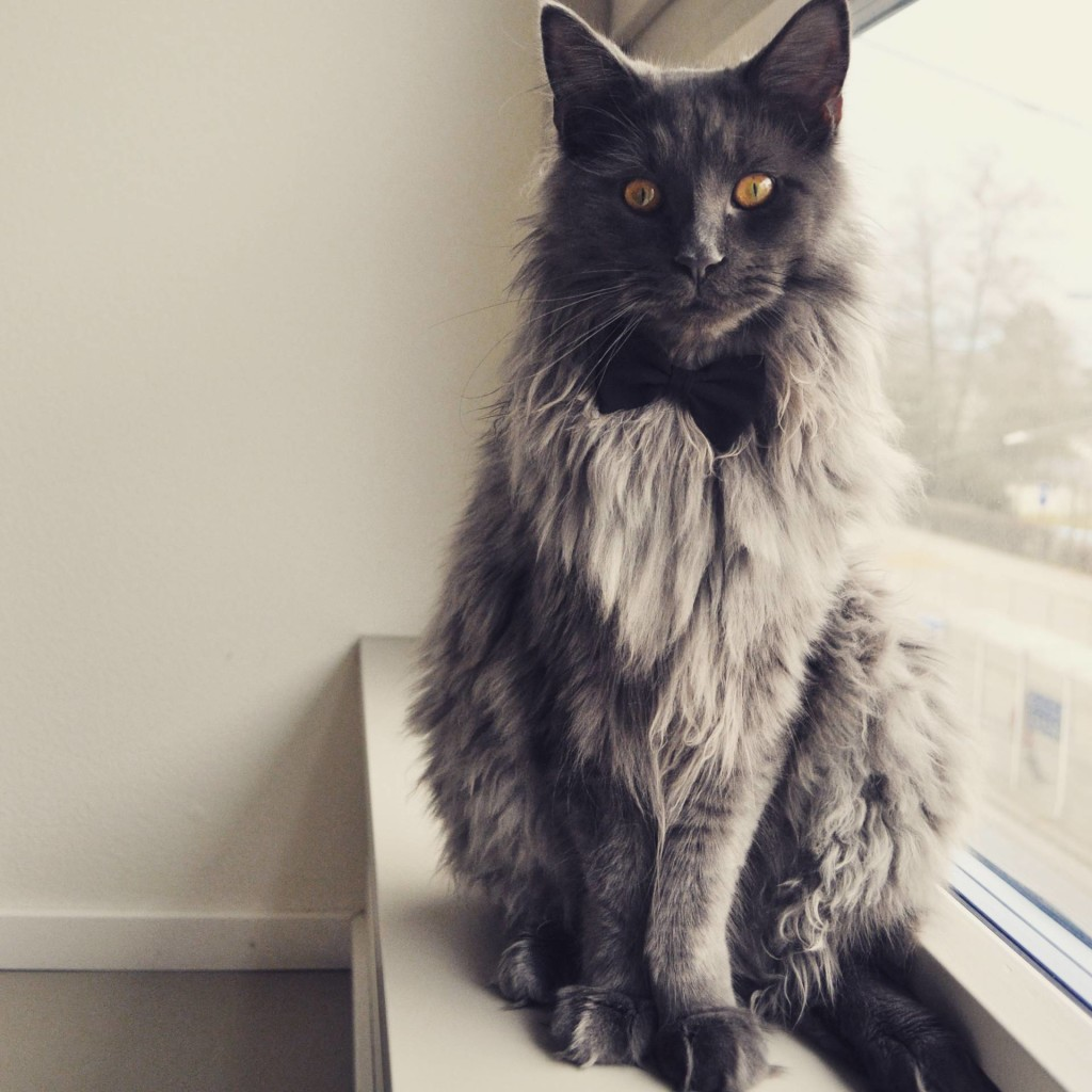 Maine Coon rescue
