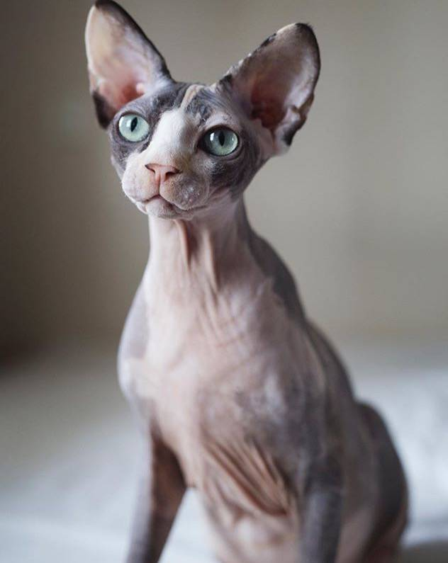 Sphynx Cat Rescue and Adoption