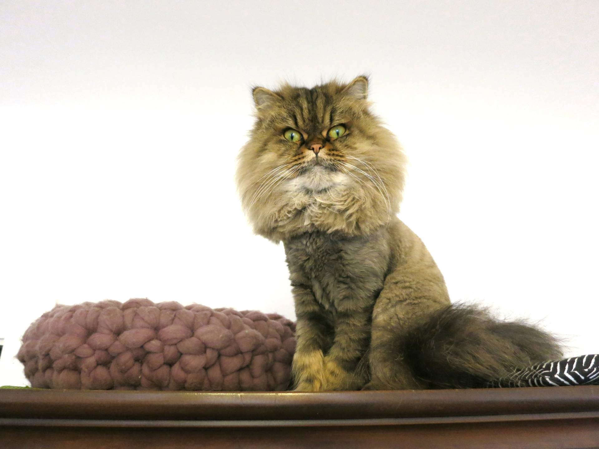 Persian Cats And Other Animals