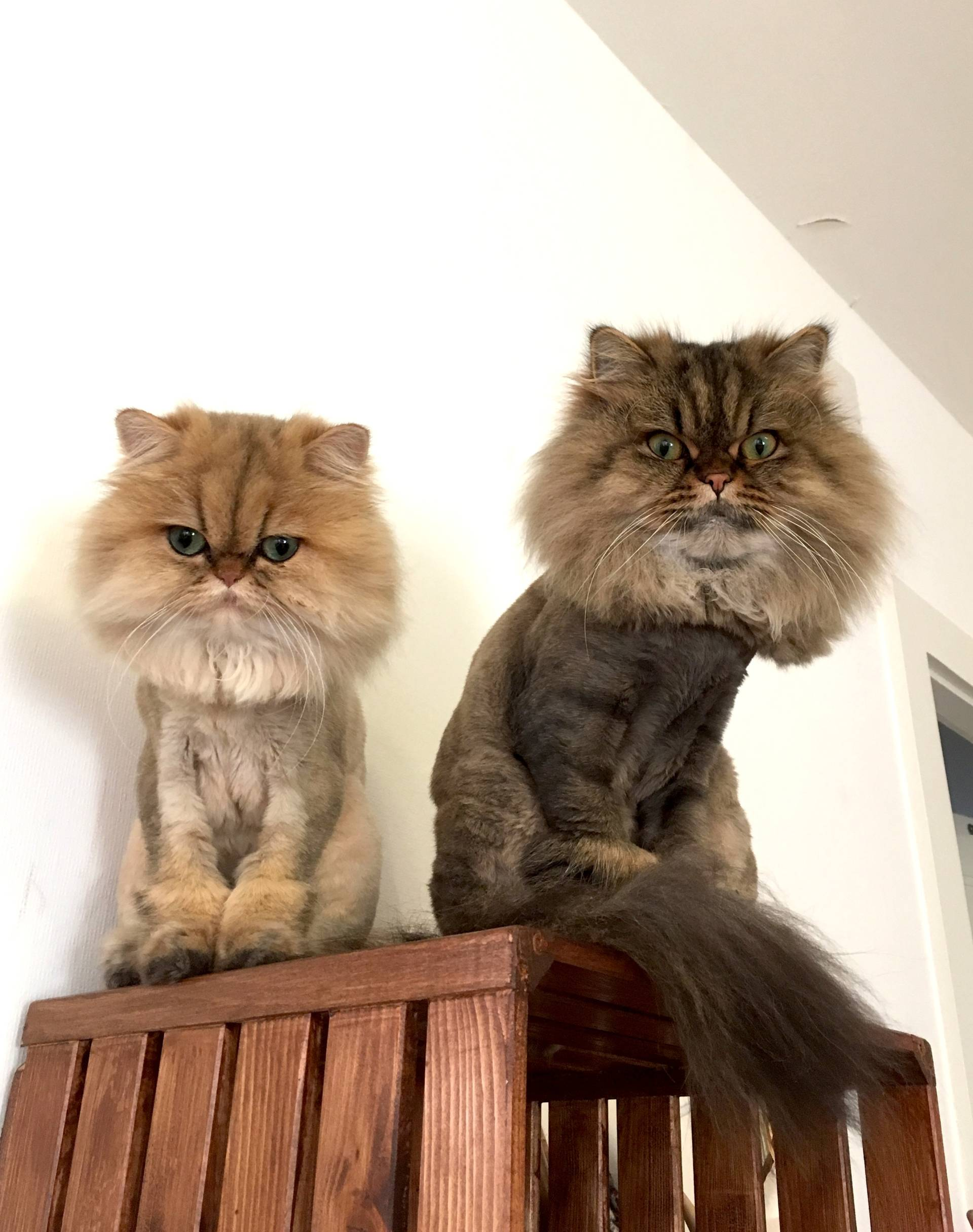Lion cut shaving persian cats