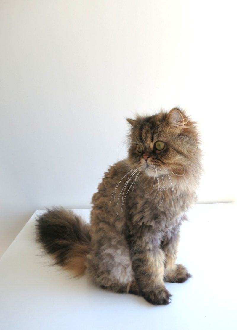 Geriatric cats fur grows back shaved apologise
