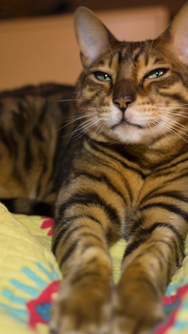 9 Purebred Cat Rescue Groups Meow Lifestyle