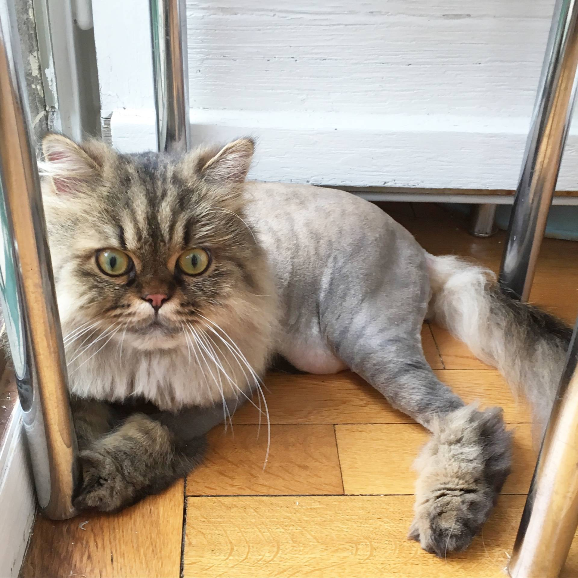1st lion cut for my persian cats | meow lifestyle