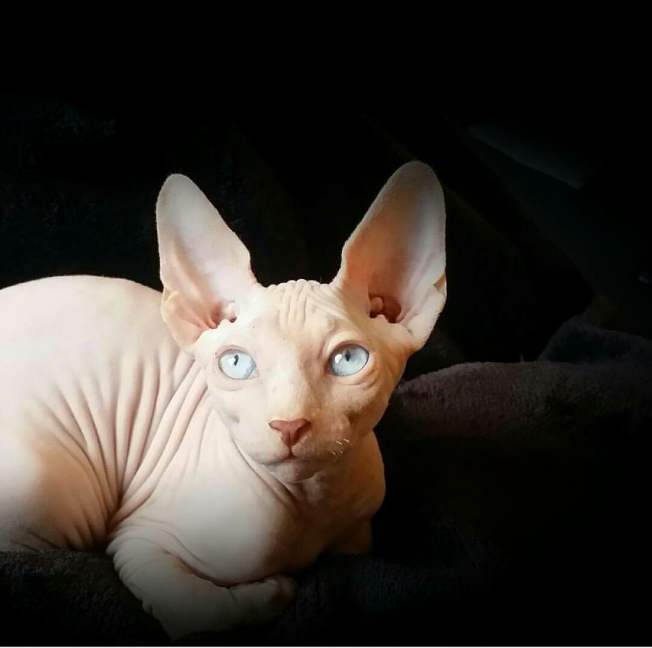 A wrinkly sphynx cat has gone viral for his terrifying